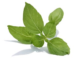 Basil an herb with many facets
