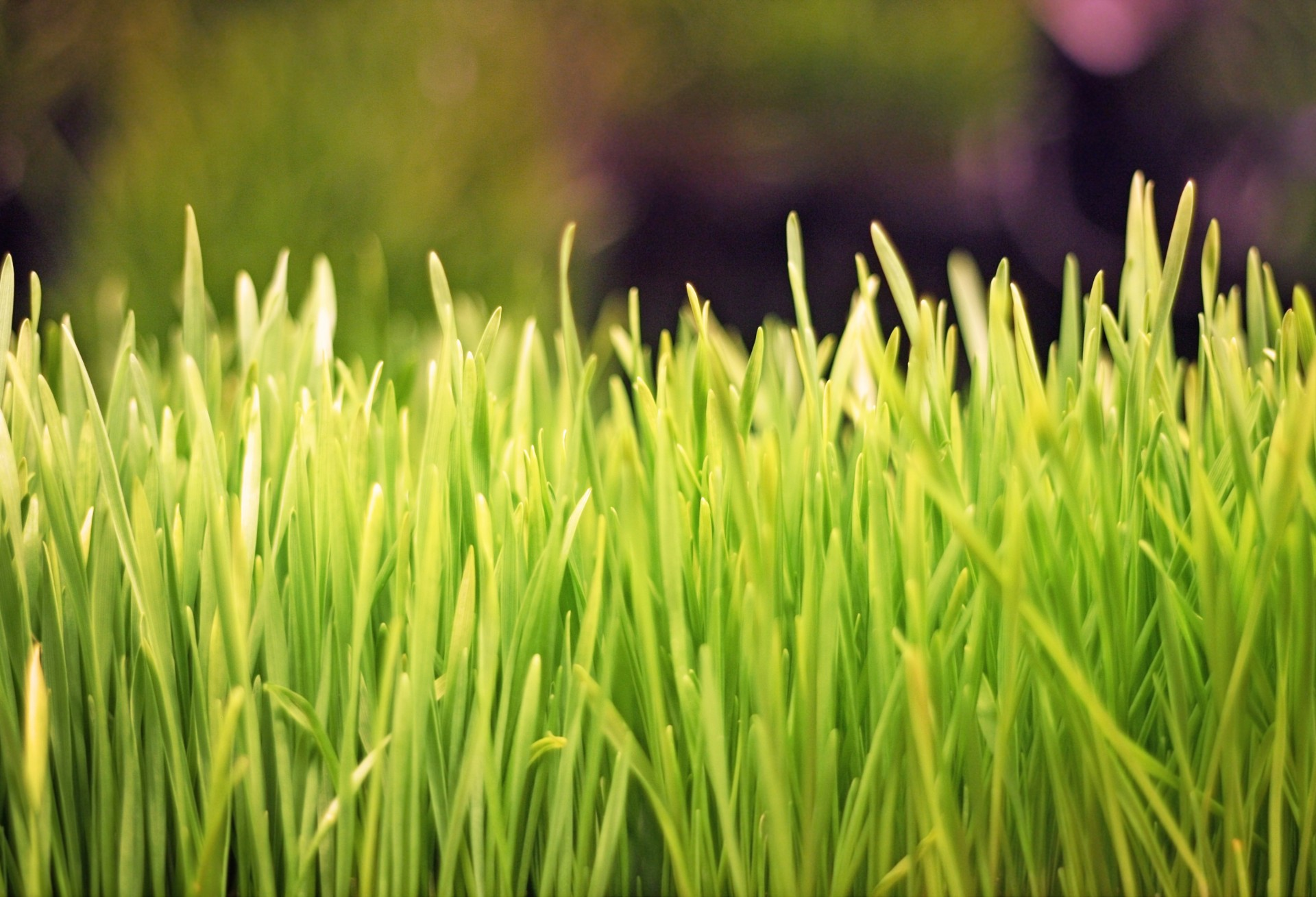 Let us know why Wheatgrass is so popular